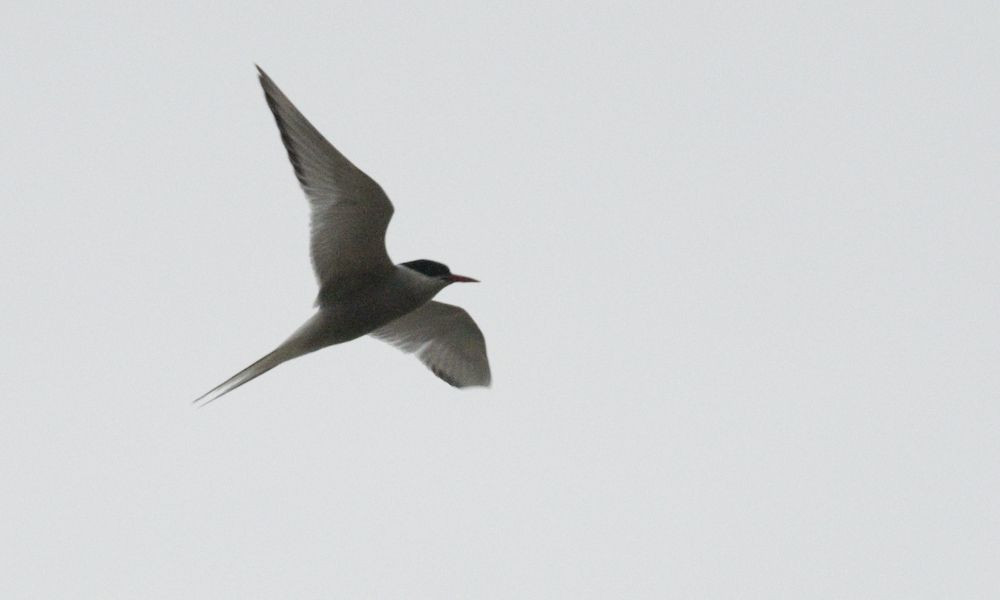 Arctic Tern Orgreave